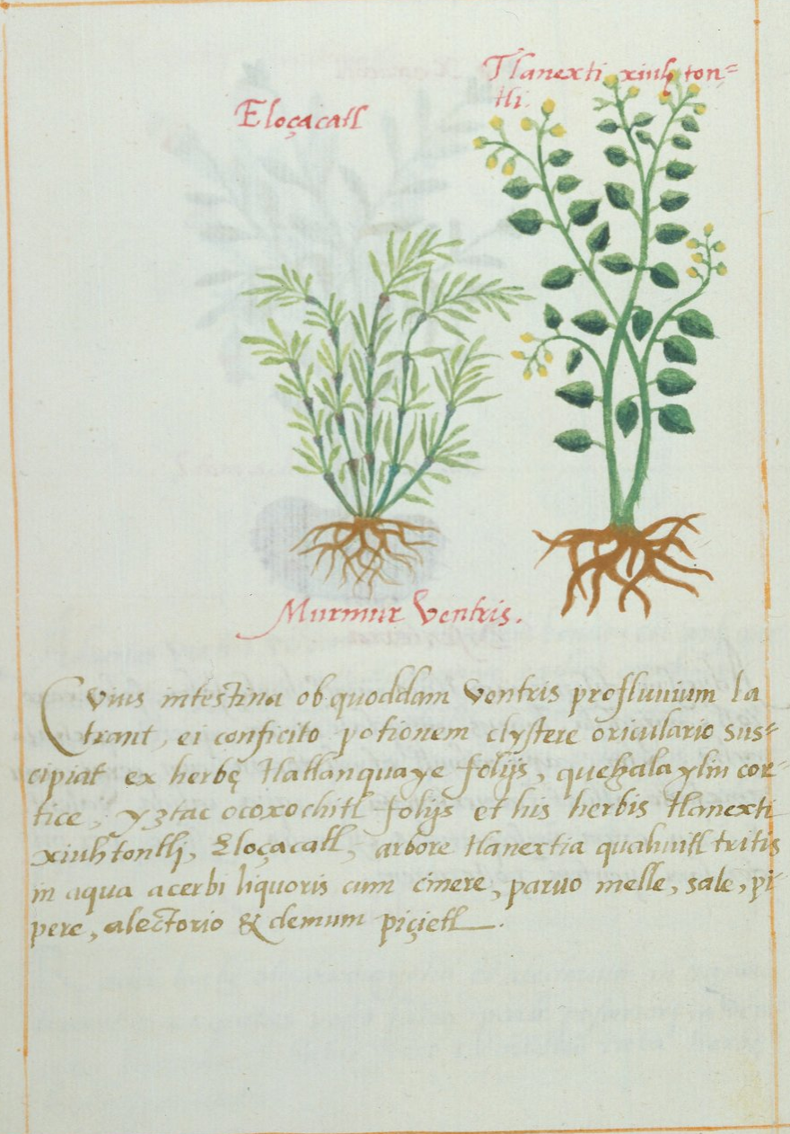 "The narcotic plant called ""picietl"" in Náhuatl - also known as Aztec tobacco."